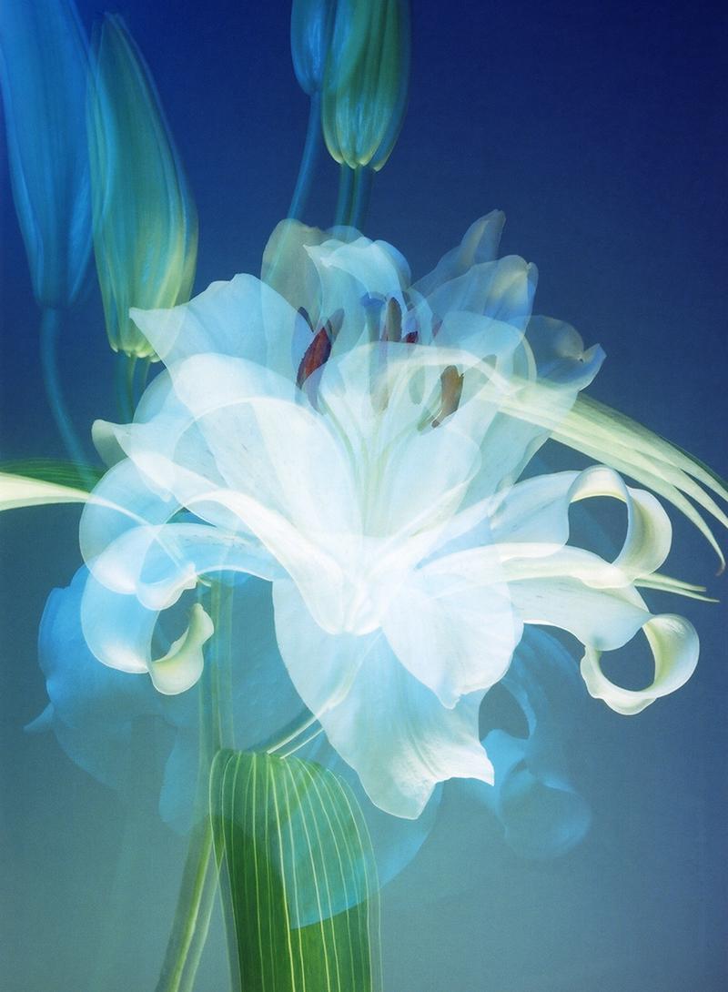 White Lily 3x