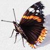Red Admiral on Canvas